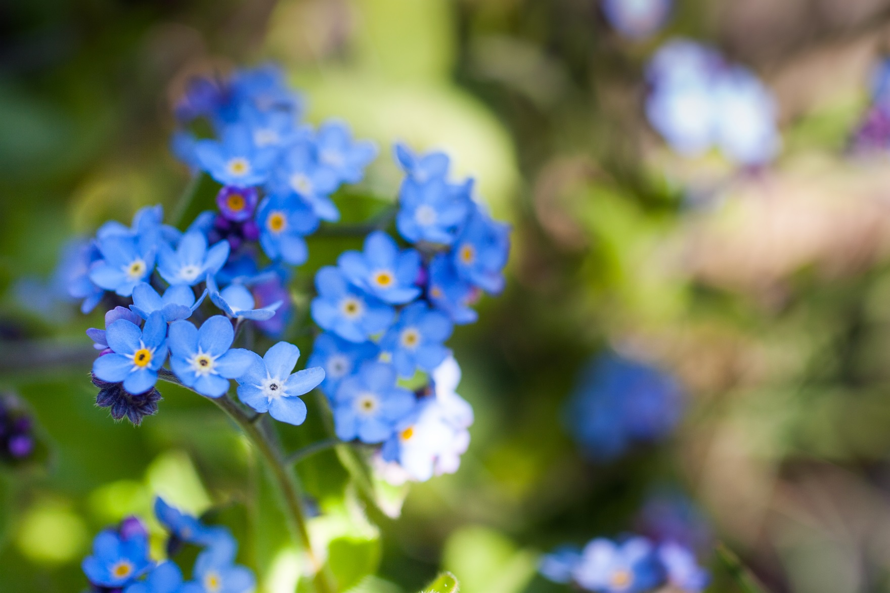 Forget me not flowers3.jpg